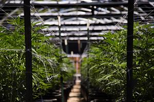 indoor-cannabis-farm